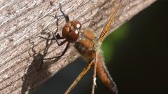 Dragonfly,  odonata, anisoptera, Stock Footage