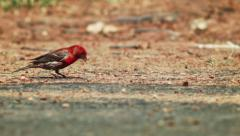 Red Heads bird on the pavement Stock Footage