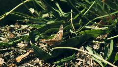 Butterfly flaps its wings in the bushes Stock Footage