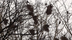 Crows in nests on tree Stock Footage