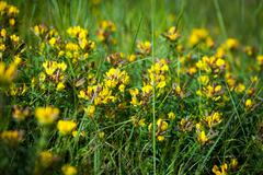 Wild flowers yellow Toadflax (Linaria vulgaris) on a green meadow - stock photo