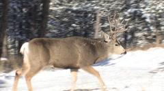 Dominant Mule Deer Buck Intimidates Younger Buck Stock Footage
