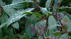 Hail falling on plant leaves Stock Footage