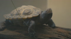 Diamondback Terrapin Basking Stock Footage