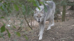 Gray Wolf Pacing - stock footage