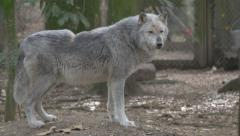 Alpha Gray Wolf - stock footage
