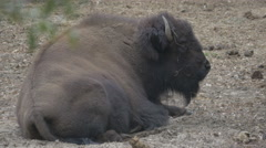 North American Bison Stock Footage