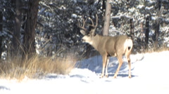 Winning buck triumphs immediately after buck fight - stock footage
