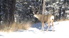 Winning buck triumphs immediately after buck fight Stock Footage
