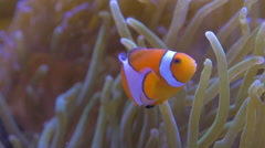 Common Clownfish in Anemone Stock Footage