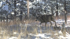 Dominant Rutting Mule Deer Buck charges other buck Stock Footage