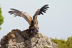 Cape vulture (Gyps Coprotheres) Stock Photos