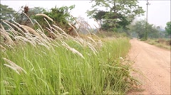 Liliopsida, Poaceae at dirty road side Stock Footage