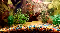 Aquarium with neons. Fragment of aquarium full of water plants Stock Footage