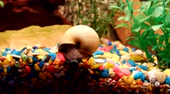 One beautiful snails in the aquarium Stock Footage