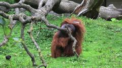 Male Bornean orangutan itches Stock Footage
