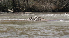 Large group of box turtles sunbathing on rocks in river Stock Footage