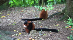 Red ruffed lemur Stock Footage