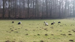 Grazing sheeps in a pasture Stock Footage