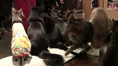 Excited cats waiting to be fed at a Japanese cat cafe Stock Footage