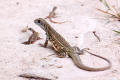 Butterfly Lizard and baby - stock photo
