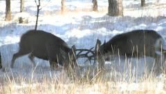 Dominant Mule Deer Bucks Engage in an Awesome Fight Stock Footage