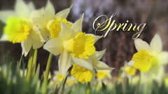 Beautiful Spring Daffodils with caption Stock Footage