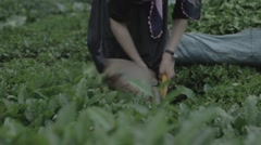 Tea Harvesting Stock Footage