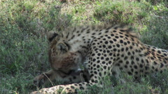 Cheetah (Acinonyx jubatus) cleaning himself Stock Footage