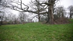 English oak tree Stock Footage
