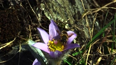 Wild Pulsatilla grandis - Pasque Flower and Drone-Fly (Eristalis tenax) Stock Footage