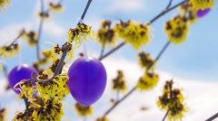 Hamamelis shrub in easter time Stock Footage