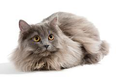 Little Persian kitten - stock photo