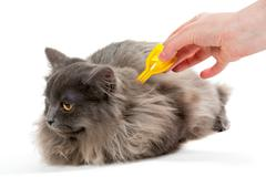 Protect the cat from ticks and fleas - stock photo