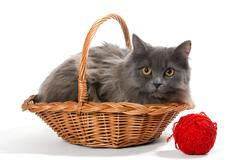 Persian kitten in a basket - stock photo