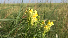 Stock Video Footage of Yellow Toadflax (linaria vulgaris) blooming
