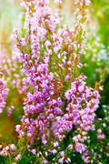 Heather  violet flowers - stock photo