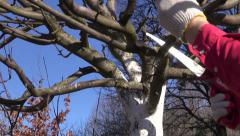 farmer cut prune apple tree in spring  with handsaw - stock footage
