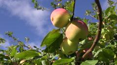 Sweet summer end ripe apple on branch in  garden Stock Footage