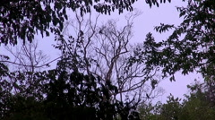 Monkeys High In The Tree Tops Stock Footage