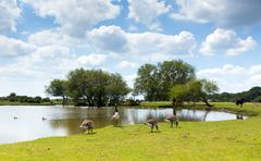Geese New Forest Hampshire England UK on a summer day - stock photo
