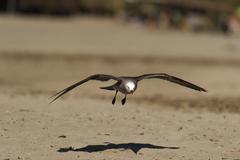 Seagull Beach Glide Stock Photos