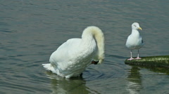 Swan and seagull by the seashore Stock Footage