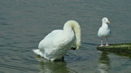 Stock Video Footage of swan and seagull by the seashore