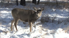 Mule Deer Doe Looks at Rutting Buck Who Stops to Feed Stock Footage