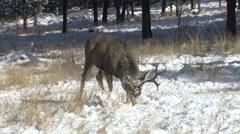Feeding Mule Deer Buck raises his head and walks off frame Stock Footage