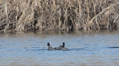 Coots are fighting in the  Sartirana Lake, Italy Stock Footage