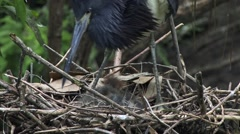 Close on a Tricolored Heron standing on nest over young chicks Stock Footage