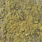 lichen closeup - stock photo