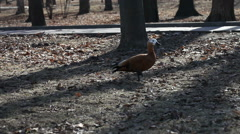 Ruddy Shelduck. Red duck walking and eating bread in the park. Stock Footage